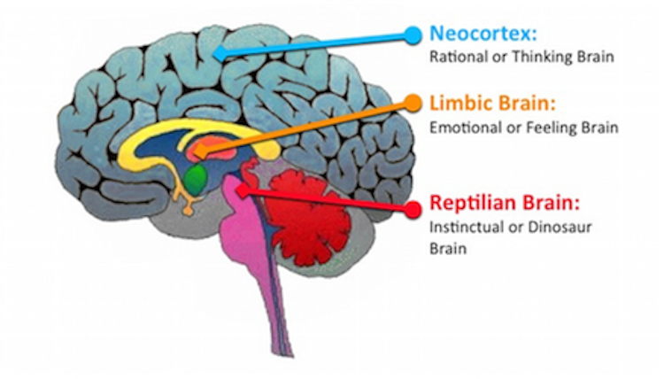 neocortex and limbic system