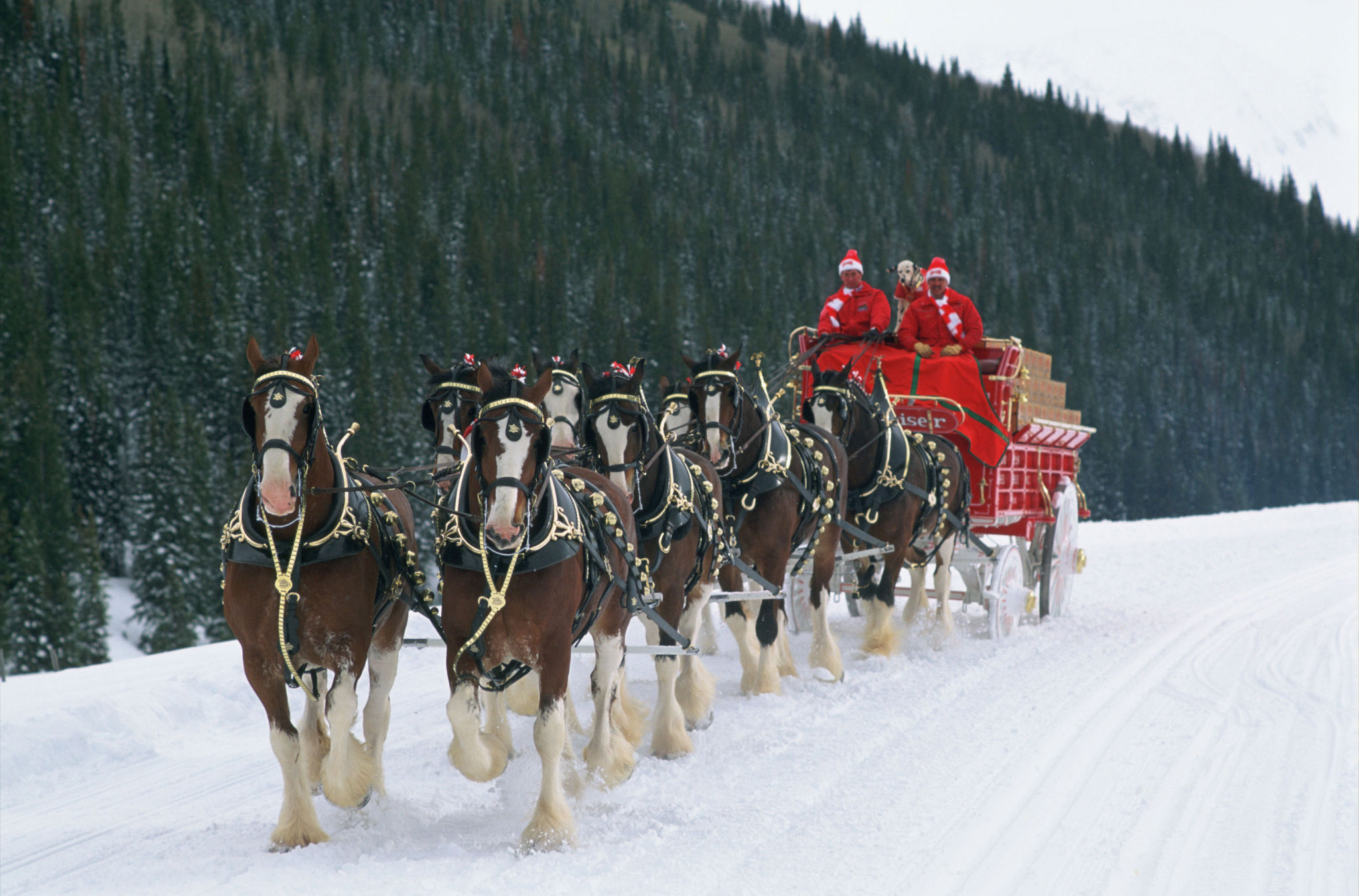 Why does Budweiser Use Clydesdales in Their Ads? A Quick History